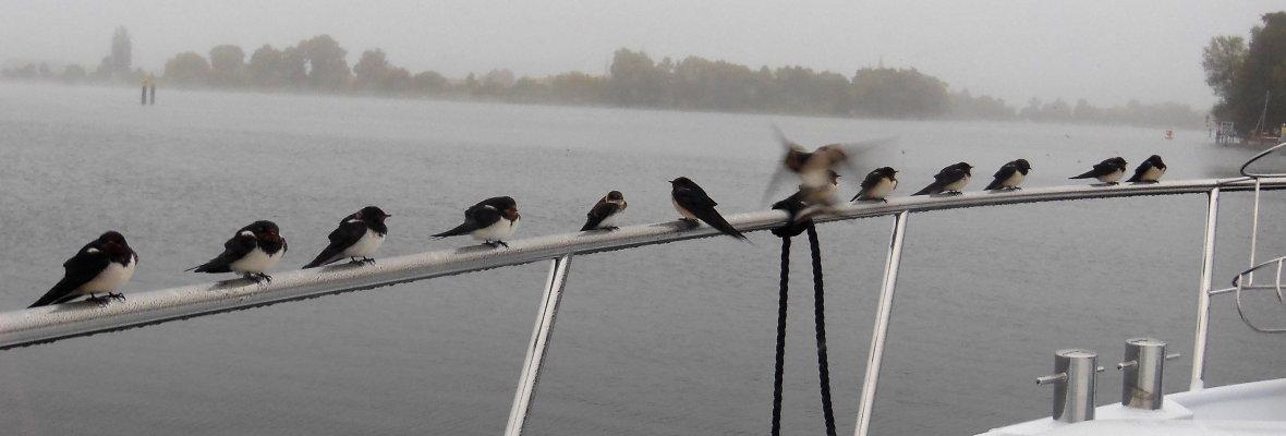 Viele Gäste an Bord - Schwalben auf der Reling